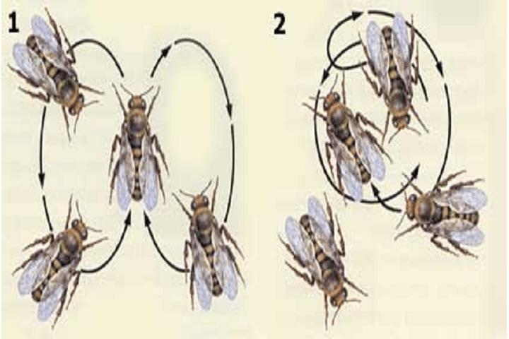 язык пчел 1