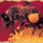 Особые приметы, пчел