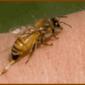 Пчелиный яд, применение