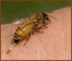 Пчелиный яд — лечебные свойства, применение, состав