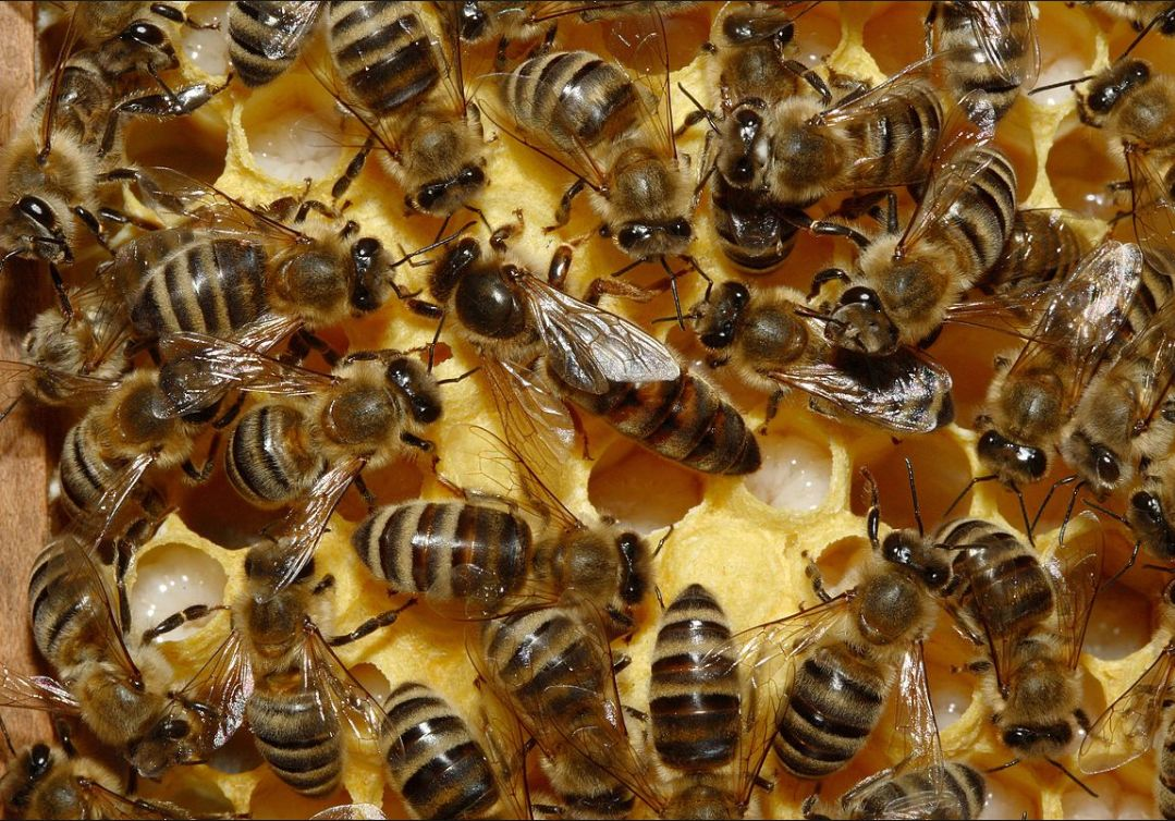 Пчелиная матка в два раза крупнее обычных пчел и живёт в 65 раз дольше них